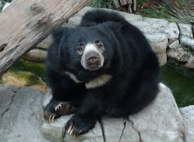 Sloth Bear Sitting small